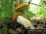 Leccinum aurantiacum (Asociación Micológica Sarllé-Fotografía de Juantxo Garrido Yerobi)